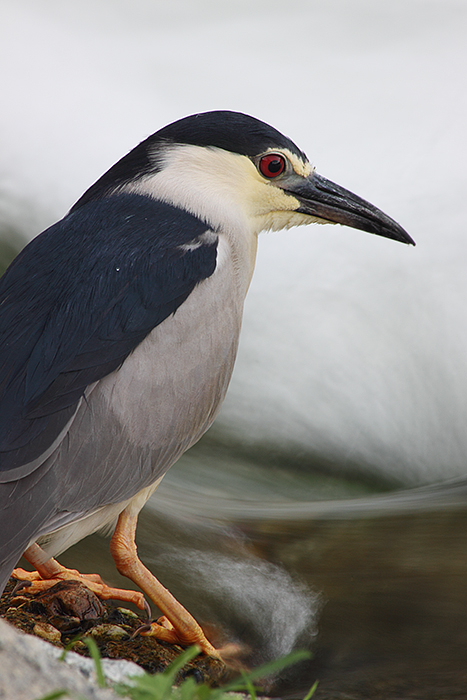 photoblog image Night Heron